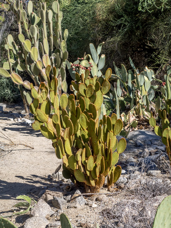 palm desert: Various cactus varieties from north American locales located in Palm Desert, California.