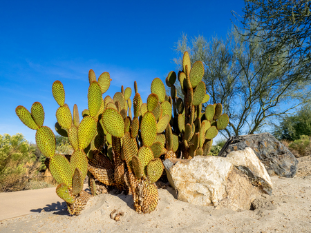 Cactus variety from north American located in Palm Desert, California.