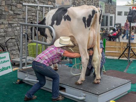 rancheros: Calgary, Canad� - 8 de julio: Vaca demostraci�n de orde�o en la Estampida de Calgary en la puesta del sol el 8 de julio de 2016 en Calgary, Alberta. La Estampida de Calgary es a menudo llamado el mayor espect�culo al aire libre en la Tierra.
