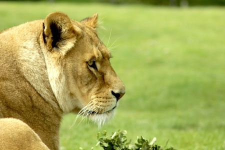 outwards: Lioness staring out over the grasslands