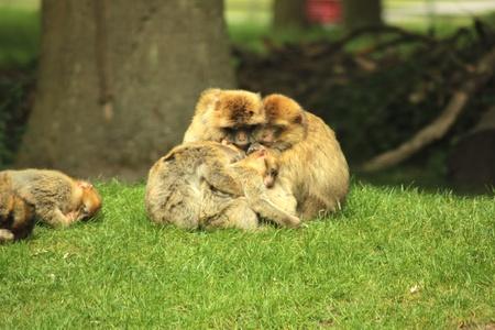 huddling: Family of monkeys huddling on the grass