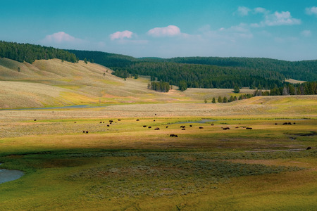 Bison Herd, Yellowstone Park