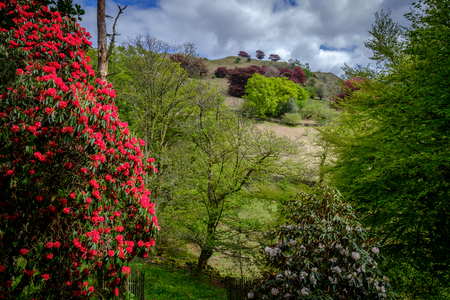 Rhododendrons below Loughrigg Fell, English Lake District Standard-Bild