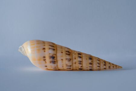 Auger Shell. Pacific Auger. Marlinspike. Terebra Maculata Linne. Pacific Seashell