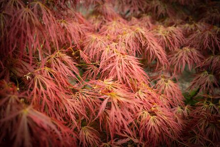 Japanese Acer Leaves in Spring. Close-up of Leaves
