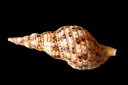 Triton Trumpet Seashell. Pacific Triton. Tritonis Stock Photo