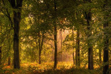 Beech Woodland in Autumn Sunshine
