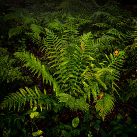 Forest Fern, North Yorkshire
