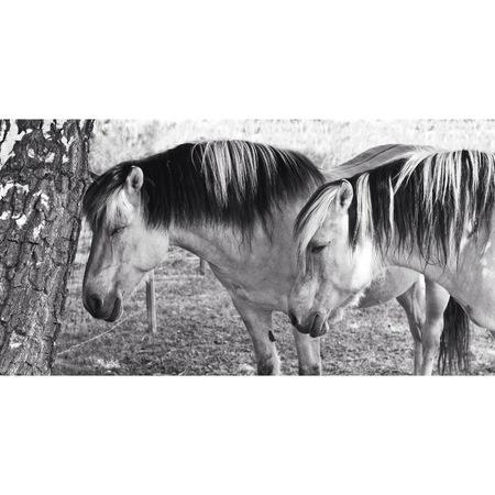 두 말, 흑백 사진입니다. 스톡 콘텐츠