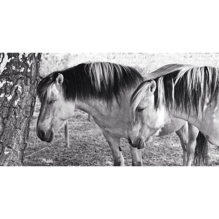 Two Horses, photo in black and white.