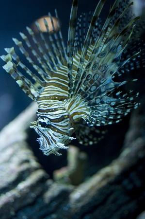dragonfish: Lion fish