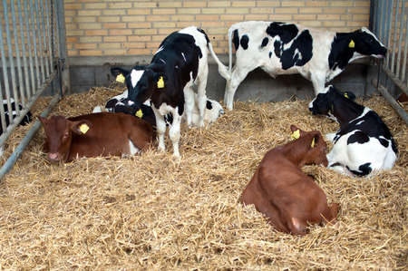 calves: Young calves in the stable