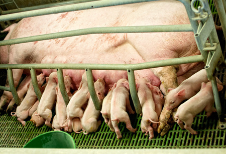 suckling: baby pigs