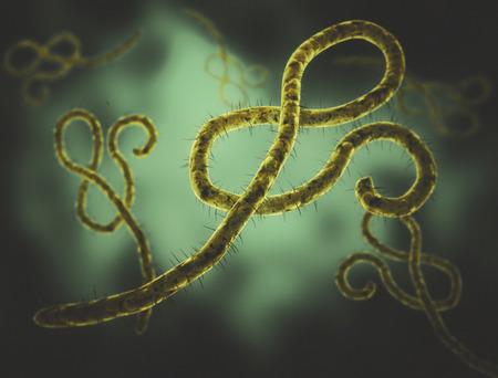 viral strain: Ebola virus cells