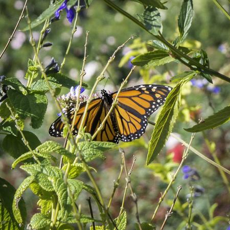 Monarch Butterfly with open wings in a garden