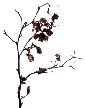 desertion: Dry twig and leaves in backlight with white background  Stock Photo