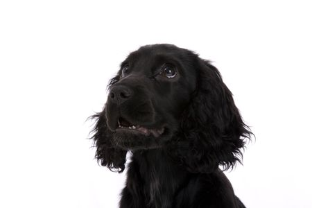 cocker spaniel photo