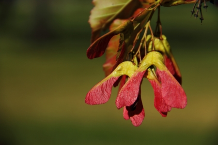acer: Closeup of red winged seeds of Tatarian Maple