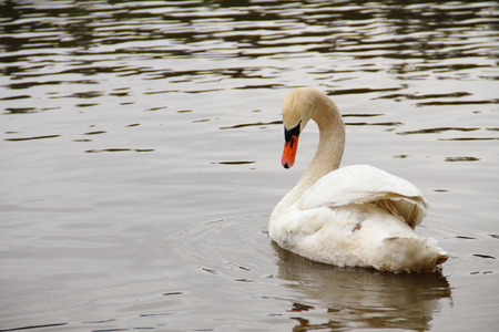 White swan side view with curved down neck, floating on a lake. Stock Photo
