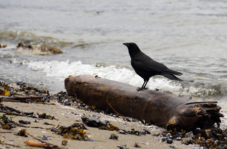 corvidae: Side view of a large black bird. The Raven is perched on a dead tree tronc on a beach with shell and seaweed in the foreground and water in the background.  Stock Photo