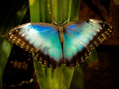 morpho: Vivid Blue Morpho Butterfly on Tropical Leaf
