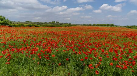 field of red poppies in spring, nature concept