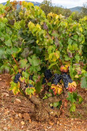 Ripened grapes on the vines in the autumn vineyards ready to be harvested, in La Rioja, Spain. 免版税图像
