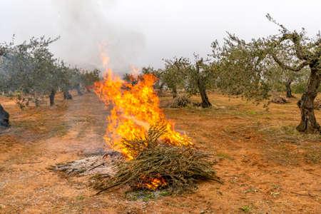 Burning of olive prunings after olive harvesting to make olive oil in Spain.