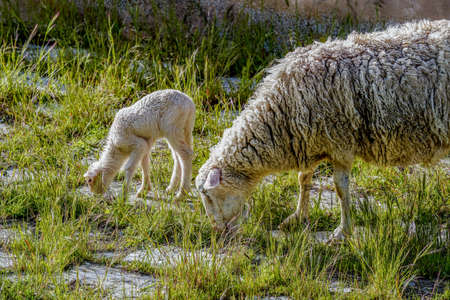 Sheep and lambs newborn lambs in a pasture in spain Imagens