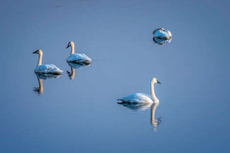 Trumpeter Swan Pairs and Blue Sky Reflected in Mirror Calm Water