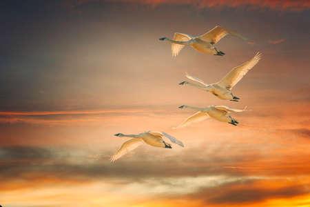 Trumpeter Swan pairs in flight with orange sunrise background.
