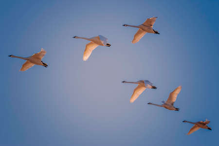 Six White Trumpeter Swans flying in formation with a blue-sky background Stock Photo