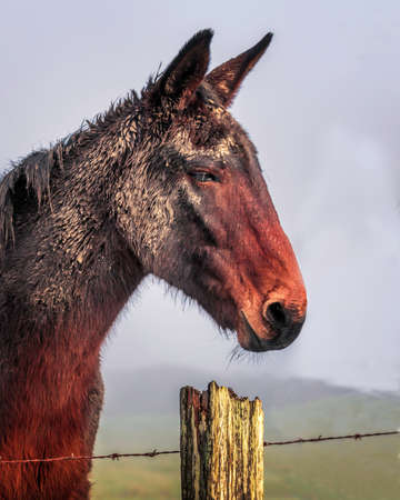 Close-up of mule after a roll in the mud on a foggy day background.