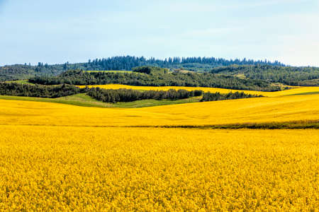 Brilliant yellow mustard fields over rolling hills of green in southern Idaho.