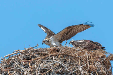 Osprey pair on nest with blue sky background.