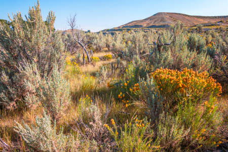 Sagebrush and Yellow Flowers