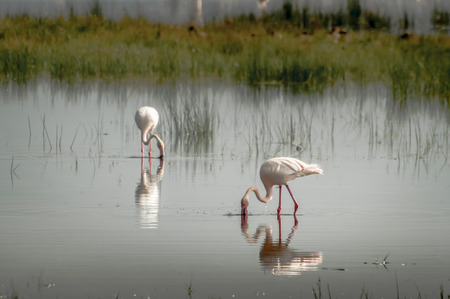 photosynthetic: Lesser Flamingos feeding in the waters of Lake Nakuru in Kenya.