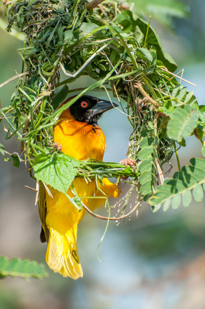 weaver bird nest: A Masked Weaver bird is sitting inside the circular outline of the recently started and mostly incomplete nest he is building in the tree branches on an island in Lake Victoria, Eastern Africa.