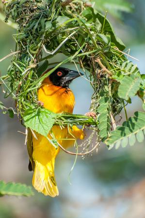 仮面の織工の鳥の最近の開始円形のアウトライン内に座っているし、大抵不完全な巣彼は東アフリカ ・ ビクトリア湖の島に木の枝で構築します。