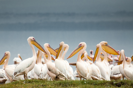 Pelicans huddled together at the edge of Lake Nakuru in Kenya, with dark grey skies behind them, complimenting their soft white feathers beautifully. photo