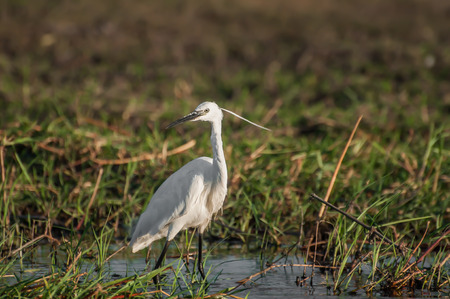 Egret by the water of the chobe river in Chobe national park, Botswana, searching for food, with lush grass in the back. photo