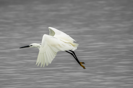 Little Egret, also known as the Yellow-Footed Egret, in flight, very close to the shallow Indian Ocean water of Unguja, Zanzibar, East Africa, with the yellow feet clearly visible.