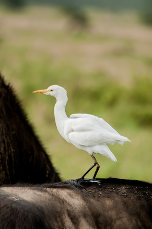 A Cattle Egret on the Back of a buffalo, looking for lice and other food, while hitching a ride with the big animal at the same time. photo
