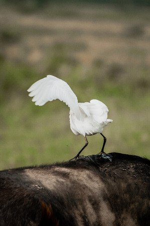 balancing act: A cattle egret doing a balancing act on the back of a buffalo in the grasslands of Nakuru National Park in Kenya.