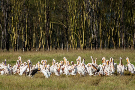 Pelicans at lake Nakuru by the water. They are in front of a Yellow Acacia forest. These trees are also known as Fever trees. photo