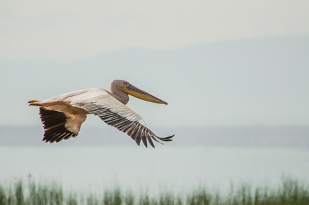 Pelican in flight over the waters of Lake Nakuru, Kenya. Below are the tops of the flora by the side of the lake, and behind are the dark grey skies that signal rain on the way. photo