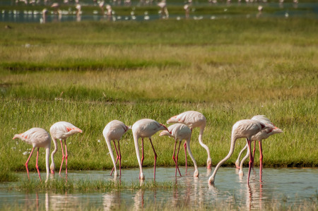 Eight lesser flamingos all with their heads in the water as they are feeding in the shallow waters of Lake Nakuru in Kenya. photo