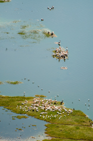 An areal view of pelicans by the shore of Lake Nakuru in Kenya. Some pelicans also on a tiny patch of grass surrounded by water, while others are in the water. photo