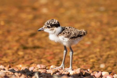 waders: Un polluelo de la avefr�a por el agua en una isla en el lago Victoria, �frica del Este, el p�jaro est� rodeado de piedras marrones con aguas poco profundas detr�s.