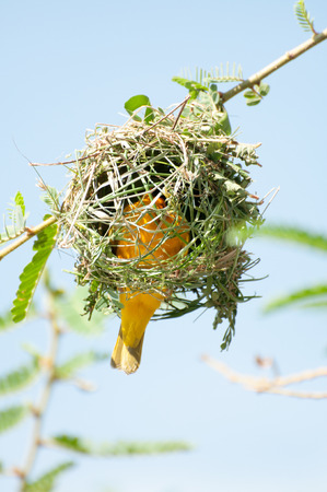 weaver bird: A Weaver Bird Building a nest in the branches of a tree on an island in Lake Victoria, Eastern Africa. The body of the bird is inside the nest with only some of it showing through the grasses used.